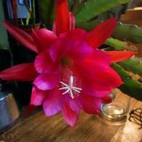 Pegasus o Pluma de Santa teresa. Cactus. Su flor primera. Ayer. Foto por AMILCAR MORETTI. 12 de noviembre 2013. Argentina.